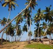 Palm on Sri Lanka Royalty Free Stock Photos