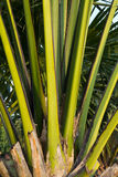 Palm Stalk Details. Patterns and Details of  Palm Stalks Royalty Free Stock Photo