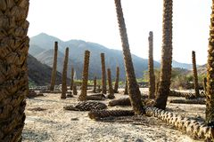 Palm Stumps. In the desert with blue sky and clouds on top royalty free stock photo