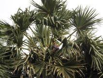 Palm Sugar Harvest Stock Photos