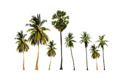 Group of sugar palm tree and coconuts tree isolated on white background. Palm sugar tree and coconut tree isolated on white background looks fresh and beautiful royalty free stock images