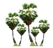 Palm-sugar trees ,tropical fruit growing up on organic farm isolated on white background royalty free stock image