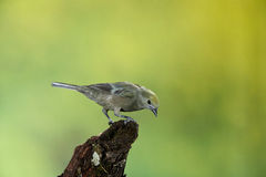 Palm tanager Stock Images