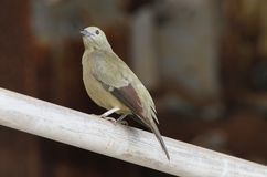 Palm Tanager Royalty Free Stock Photos