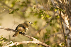 Palm Tanager on Branch in Shade Royalty Free Stock Photo