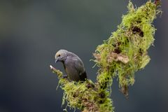 Palm Tanager Royalty Free Stock Images
