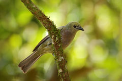 Palm Tanager Stock Photography