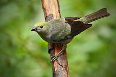 Palm Tanager, Thraupis palmarum, bird in the green forest habitat sitting on the branch Costa Rica Stock Images