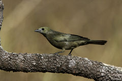 Palm tanager, Thraupis palmarum, Stock Photos