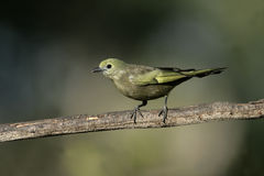Palm tanager, Thraupis palmarum, Stock Photo