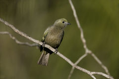 Palm tanager, Thraupis palmarum, Stock Image