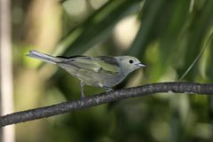 Palm tanager, Thraupis palmarum Stock Photos