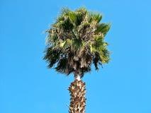 Palm tegen de blauwe hemel Royalty-vrije Stock Afbeeldingen