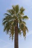 Palm tegen de blauwe hemel Royalty-vrije Stock Fotografie