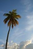Palm tegen de hemel Stock Fotografie