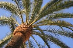 Palm tegen hemel Stock Afbeeldingen
