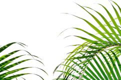 Palm thickets, leaves, bushes isolated on white background. Vacation holidays tropic background wallpaper Stock Image
