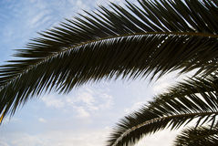Palm Three In A Detail. With Cloud Sky Royalty Free Stock Photography