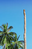 Palm without top Royalty Free Stock Photo