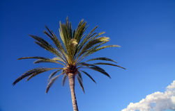 Palm top blue sky Royalty Free Stock Image