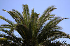 Palm. The top of palm trees with a blue sky royalty free stock photography