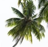 Palm tree's leaves. On the blue sky background Stock Image