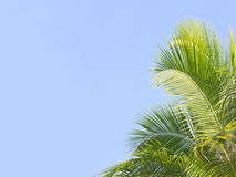 Palm tree's leaves. On the blue sky background Stock Photography