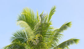 Palm tree's leaves. On the blue sky background Royalty Free Stock Images