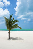 Palm Tree. A lone palm tree on a tropical mexican beach Stock Photos