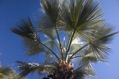 Palm tree. A beautiful palm tree set against a clear blue sky Stock Photos