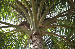 Palm tree. A neck area of palm tree with white backround Stock Photography