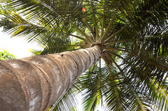 Palm tree. A neck area of palm tree with white backround Royalty Free Stock Image