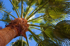 Palm tree. Against blue sky Royalty Free Stock Images