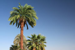 Palm Tree. Date palm in front of blue sky Stock Photography