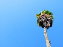 Palm Tree. Tall Palm Tree with Blue Sky in the Background Royalty Free Stock Image
