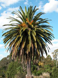 Palm tree. In the Melbourne Botanical Gardens Stock Images