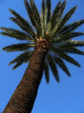 Palm tree. View of the trunk and leaves of a palm tree with a clear blue sky stock images