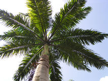 Palm tree. Plam tree against clear tropical sky stock images