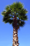 Palm Tree. With blue sky in background stock image