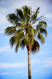 Palm Tree. A Palm Tree with a blue cloudy sky in the background Royalty Free Stock Image