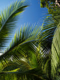 Palm tree. Leafs in tropical scenery royalty free stock image