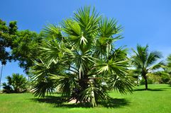 Palm tree. Royalty Free Stock Photos