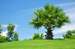 Palm tree. Stock Image