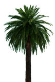 Palm tree. Royalty Free Stock Image