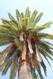 Palm tree. Royalty Free Stock Photos