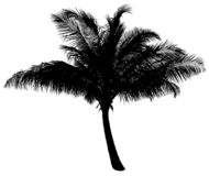 Palm Tree. Highly detailed palm tree silhouette, on white backround Stock Photo