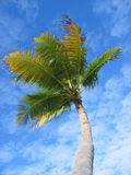 Palm Tree 2. View up tropical palm tree set against bright blue sky with white clouds royalty free stock photo