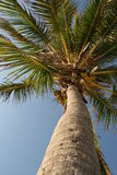 Palm tree. From below Stock Photography