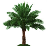 Palm tree. Isolated on white background Royalty Free Stock Photography
