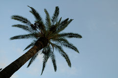Palm Tree. Looking up a palm tree Stock Photo